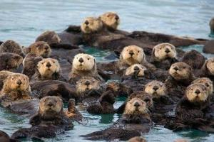 sea_otter_raft