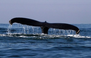A humpback whale is seen near the coast of Mazatlan